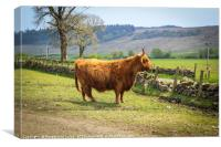 Long haired and horned Highland cow in a Scottish , Canvas Print