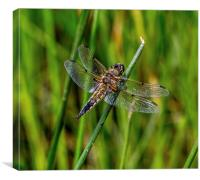 Four Spotted Chaser( libellula quadrimaculata), Canvas Print