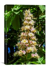 Horse chestnut flower, Canvas Print