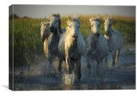 White horses running through water - camargue, Canvas Print