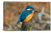 The Kingfisher, Canvas Print