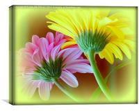 GERBERA DUO, Canvas Print