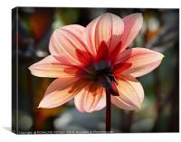 """Backlit Dahlia"", Canvas Print"