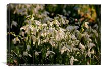 """""""Evening light on the snowdrops """", Canvas Print"""