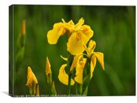 """""""Iris in the reeds, Canvas Print"""