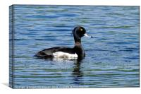 """Tufted Duck"", Canvas Print"