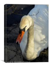 """Portrait of a Swan"", Canvas Print"