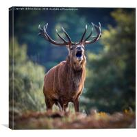 Rutting Red Deer Stag, Canvas Print
