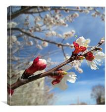 Apricot blossoms in Spring,, Canvas Print