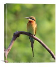 Gold Bee Eater of Sri Lanka, Canvas Print