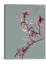 Cherry blossom., Canvas Print
