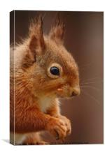 Red Squirrel IV, Canvas Print