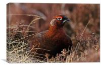 Red Grouse in Heather, Canvas Print