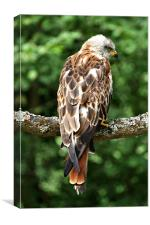 The Red Kite (Milvus milvus), Canvas Print