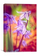 Spanish Squill, Canvas Print