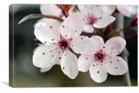 Purple Leaf Plum flower, Canvas Print
