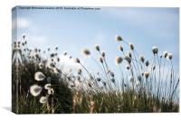 Fluffy cotton grass on the moors, Canvas Print