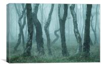 Bendy Birches, Canvas Print
