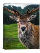 Stag Portrait in the Highlands of Scotland , Canvas Print