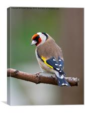 Goldfinch european, Canvas Print