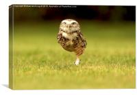 Burrowing Owl on the march left foot forward, Canvas Print