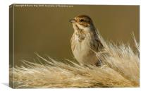 Reed Bunting on Pampas, Canvas Print