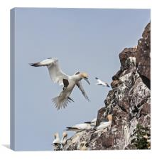 Gannets, Canvas Print