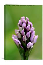 Orchid buds, Canvas Print