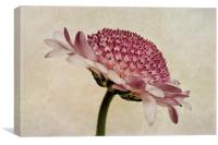 Chrysanthemum Domino Pink, Canvas Print