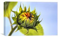 Sunflower bud, Canvas Print
