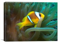 Anemonefish sheltering in Sea Anemone, Canvas Print