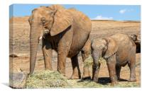 Mother And Calf, Canvas Print