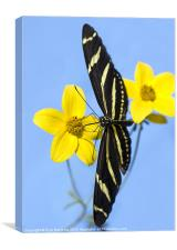 A zebra longwing butterfly, Heliconius charitonius, Canvas Print