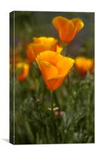 California Poppy, (Eschscholzia californica), Canvas Print