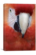 Scarlet Macaw Parrot, Ara macao, Canvas Print