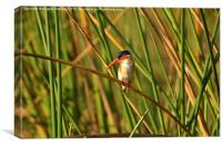 African  Malachite Kingfisher., Canvas Print