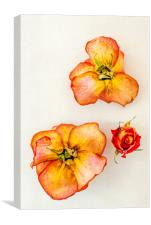 Three dry roses, Canvas Print
