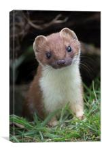 Stoatily Beautiful, Canvas Print