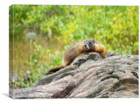 Rocky Mountains Yellow bellied marmot, Canvas Print