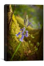 A lonely Bluebell, Canvas Print