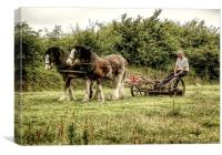 Working shire horses in Ireland, Canvas Print
