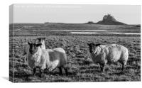Black and White Sheep of Lindisfarne.............., Canvas Print