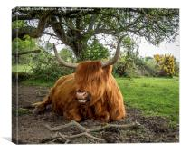 Highland cow at Setley,New Forest, Canvas Print