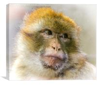 Portrait of a Barbary Macaque , Canvas Print