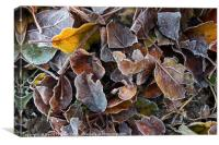 Frost Coated Leaves, UK, Canvas Print