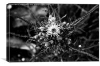 The thistle, Canvas Print