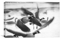 Candian Geese flying, Canvas Print