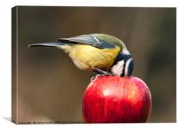 Detailed blue tit with beak inside a red apple, Canvas Print