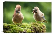Jay bird mother with young chick, Canvas Print