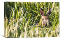 Wild hare in crops looking at camera, Canvas Print